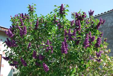l amour est un bouquet de lilas a l 39 encre violette. Black Bedroom Furniture Sets. Home Design Ideas