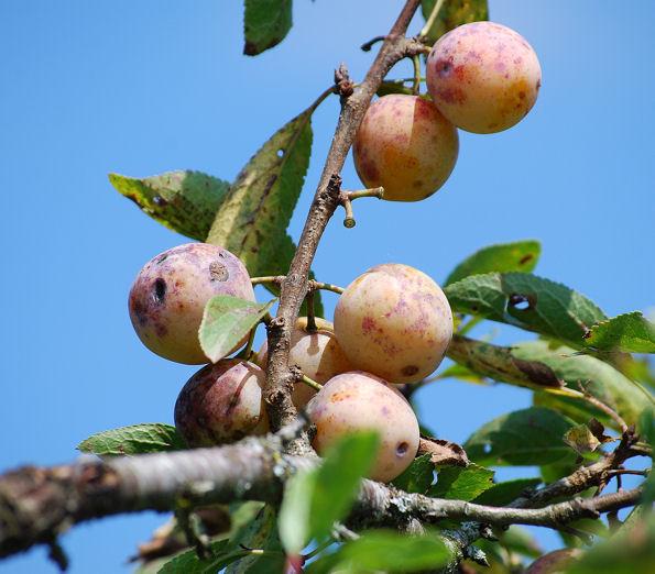 Mirabelle, mire la belle prune! dans Leçons de choses mirabelleblog4