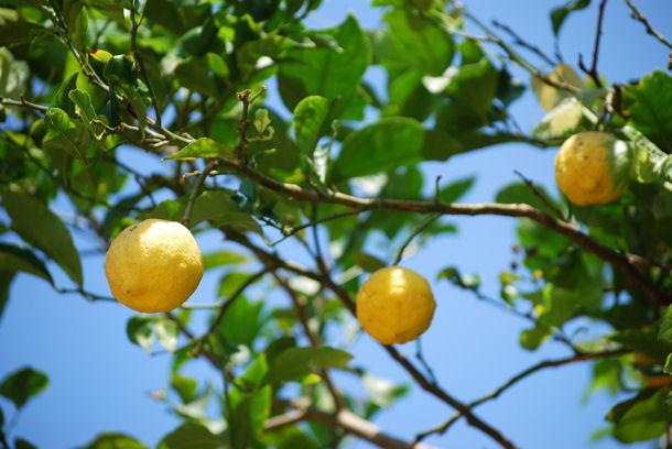 Citronnierblog