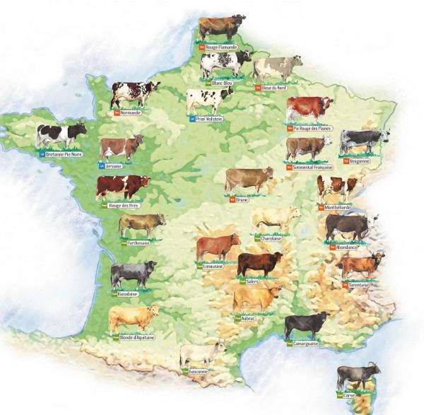 Carte-des-races-bovines-Rouge-Flamande-Bnc-Bleu-Bleue-du-Nord-Normandie-Prim-Holstein-Pie-Rouge-des-Plaines-Bretonne-Pie-noire-Jersiaise-Simmental-française