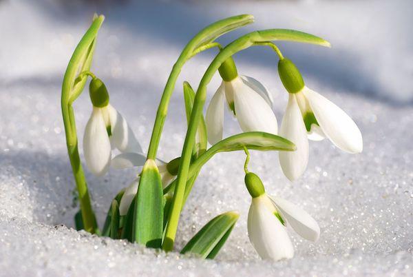 Spring snowdrop flowers
